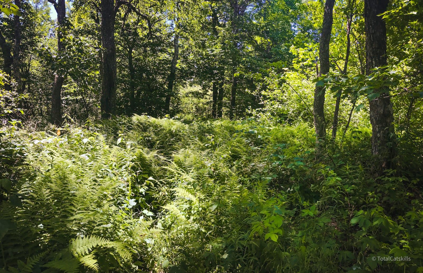 fern glade in woods