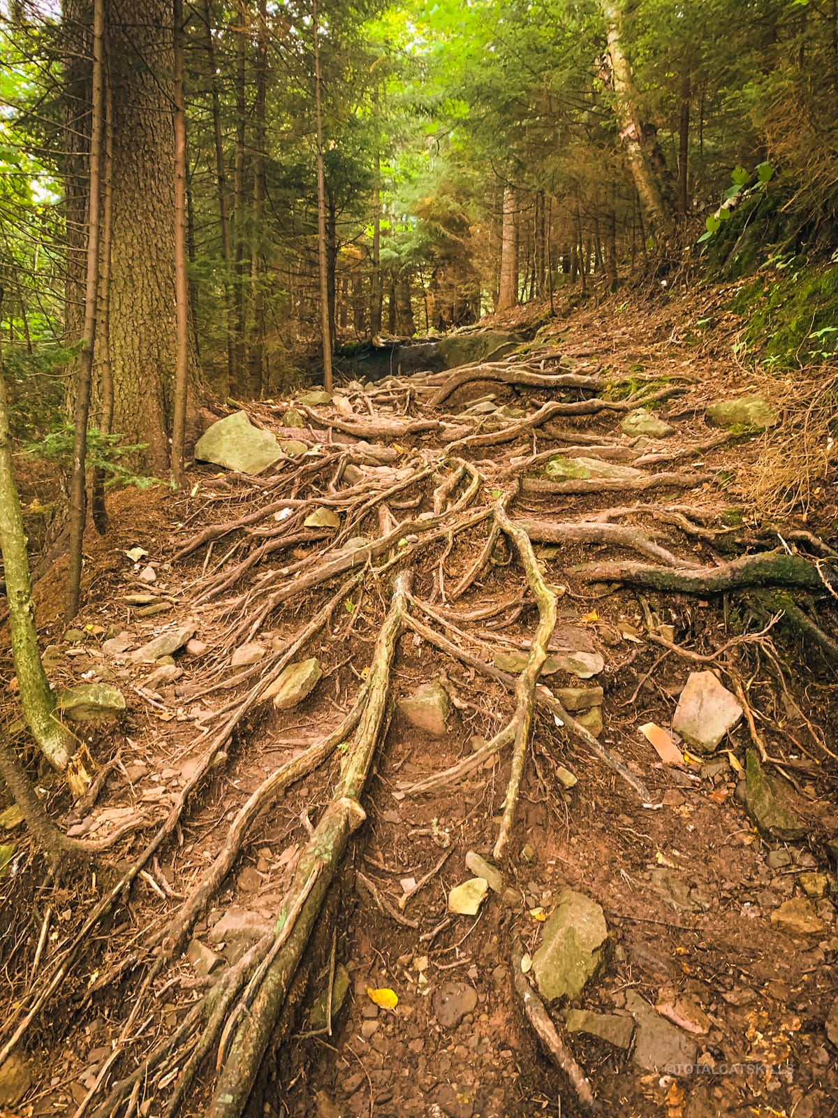 roots on trail