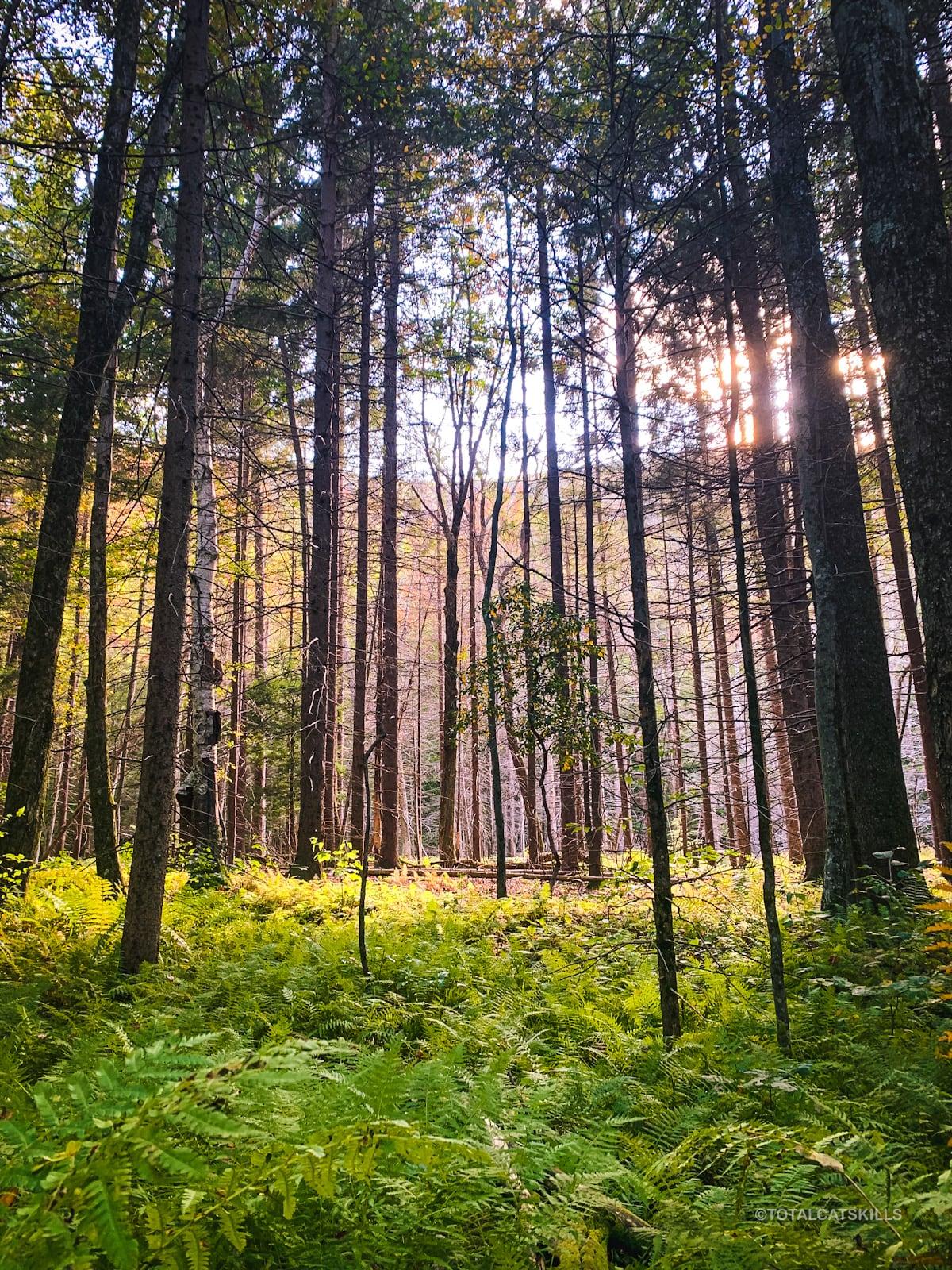 fern grove in spruce woods