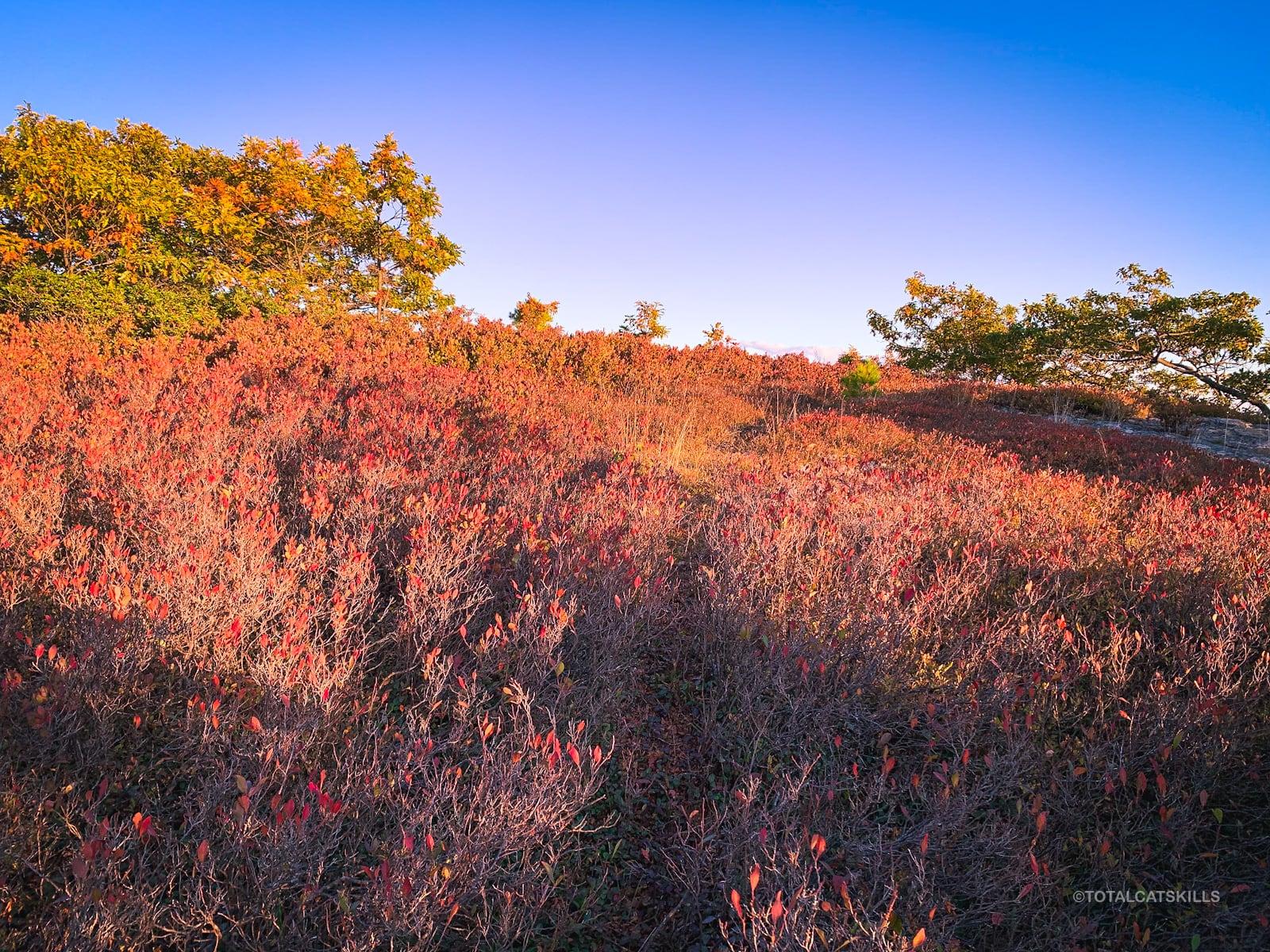 blueberry heath at sunset