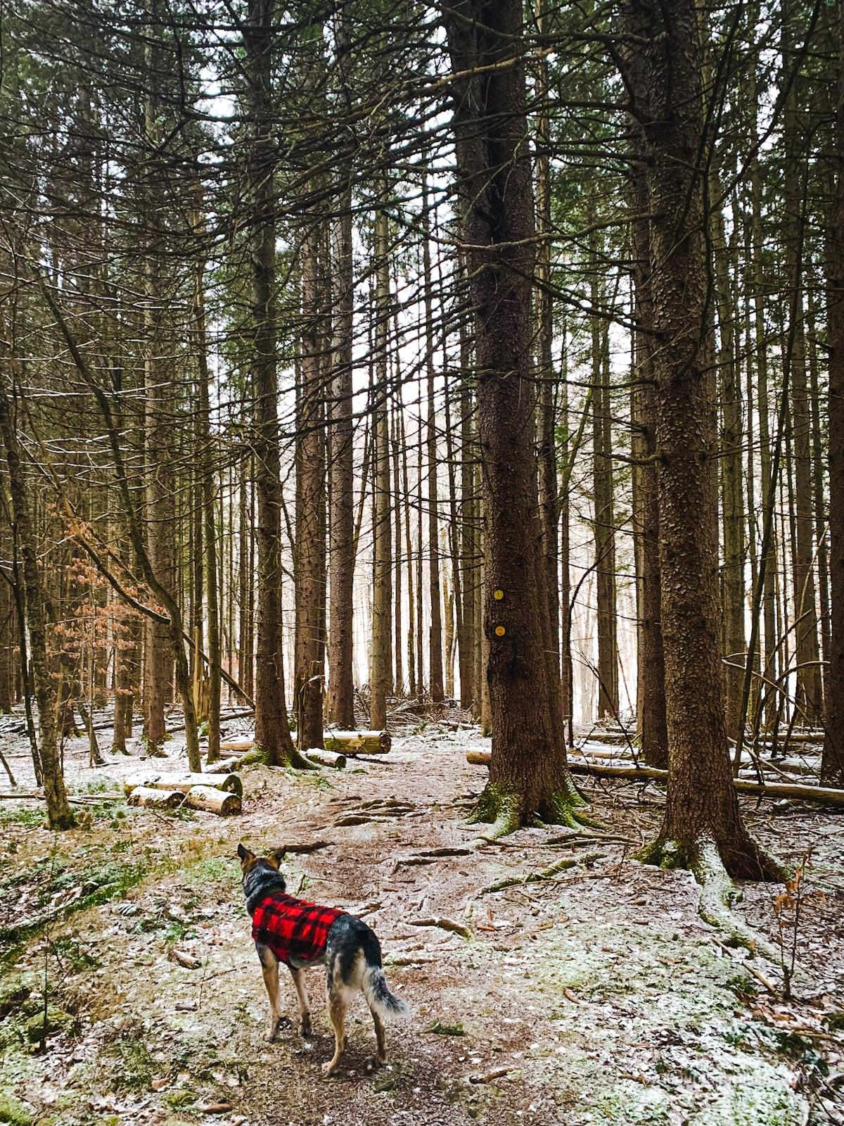 dog in snowy woods