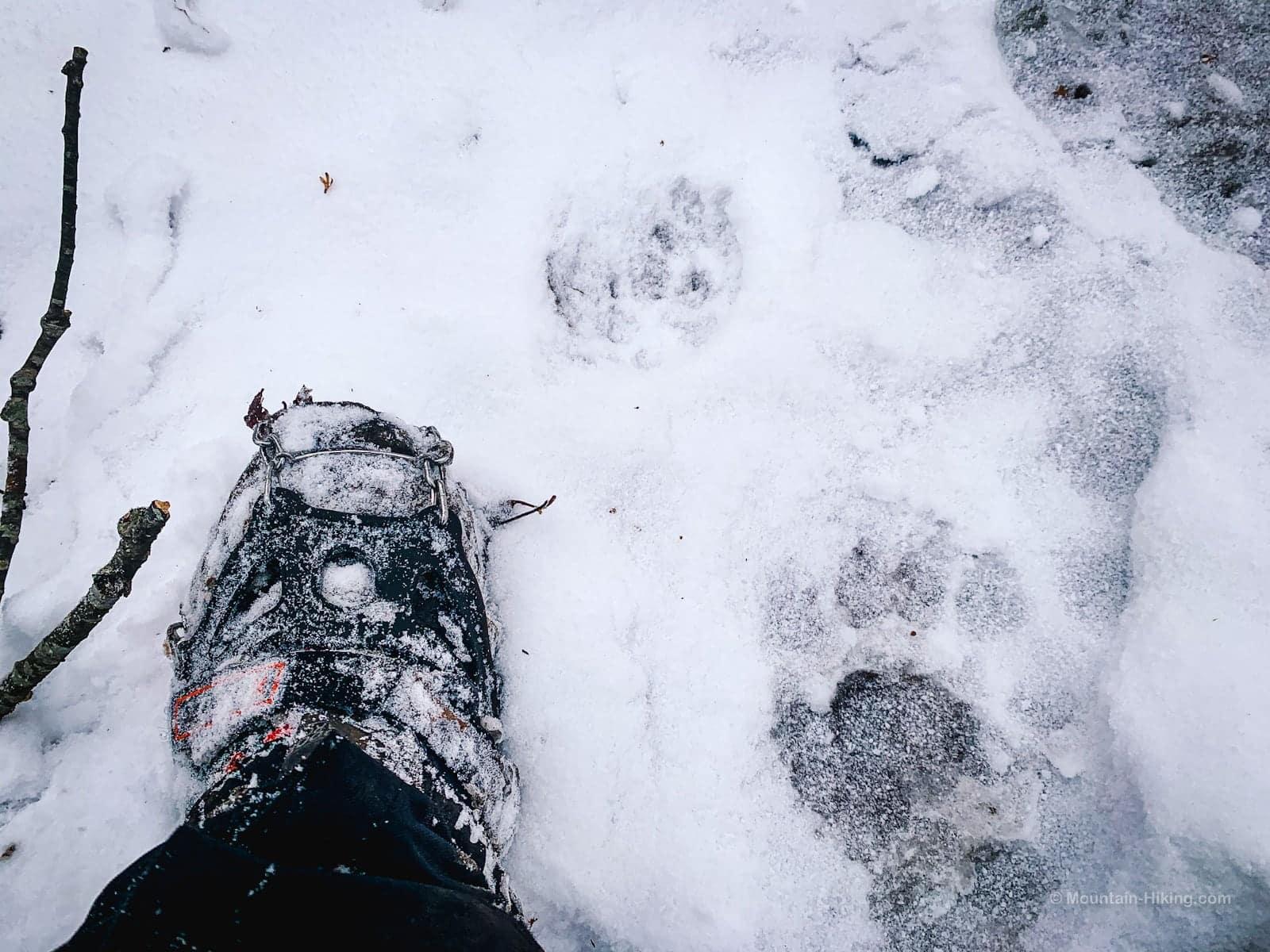 bear prints in snow