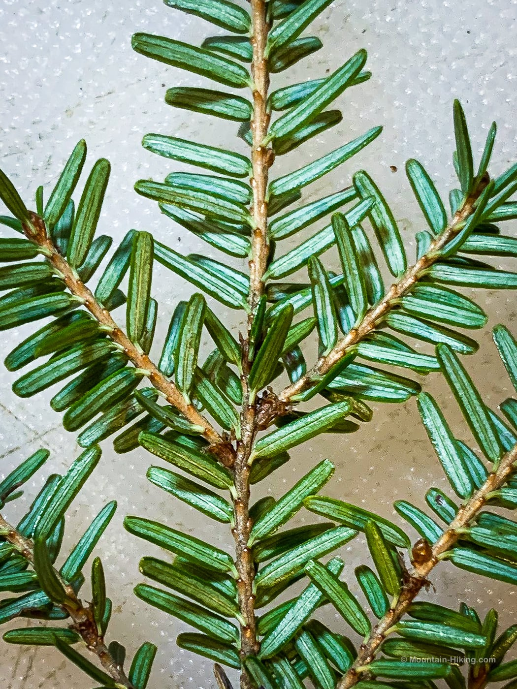 underneath hemlock leaves